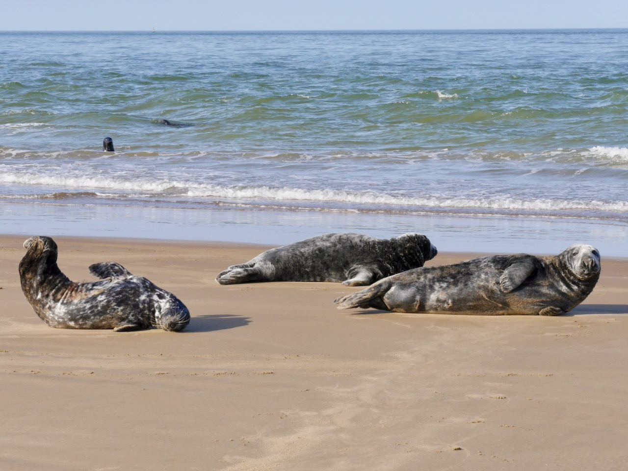Seals on Goodwin Sands 1
