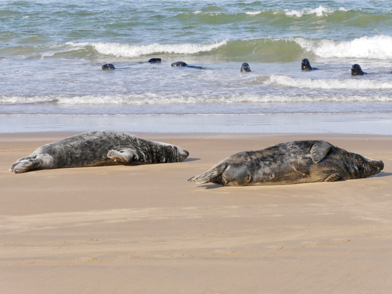 Seals on Goodwin Sands